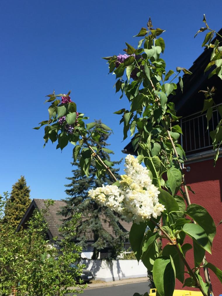Foto: Fliederbusch mit weißen Fliederblüten for strahlend blauem Himmel